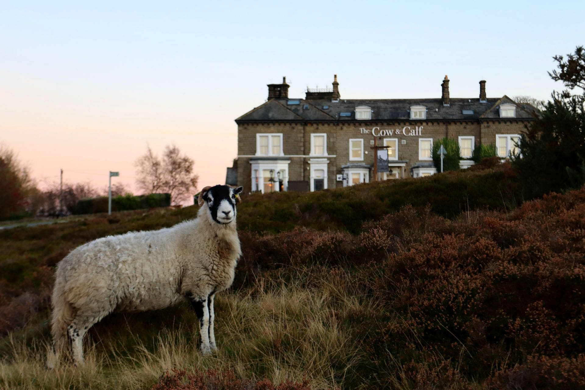 sheep-standing-on-rugged-moors-in-front-of-pub-the-cow-and-calf-in-ilkley-england-uk-day-trips-from-leeds