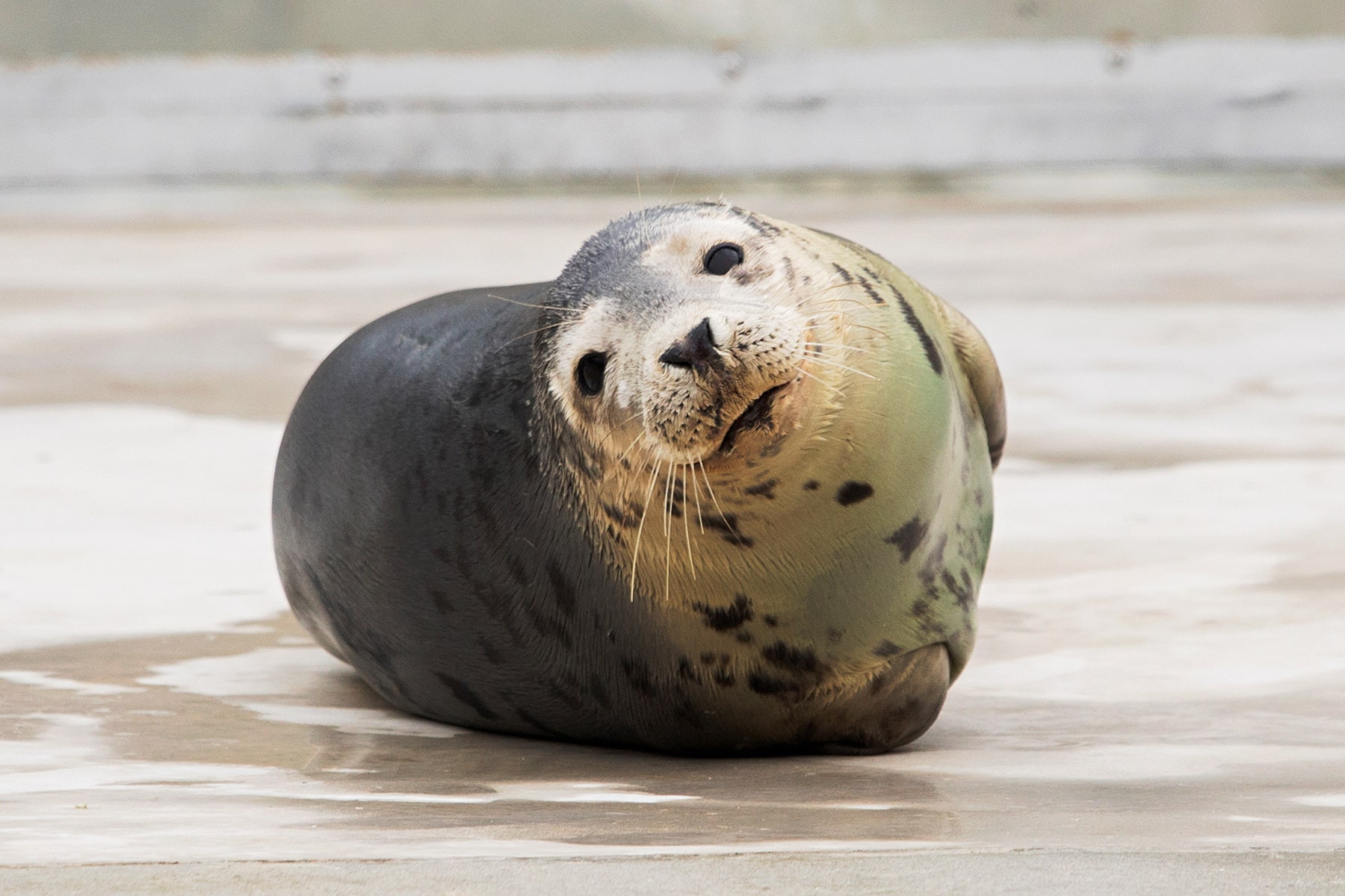 seal-lying-on-floor-at-cornish-seal-sanctuary--things-to-do-in-cornwall-in-winter