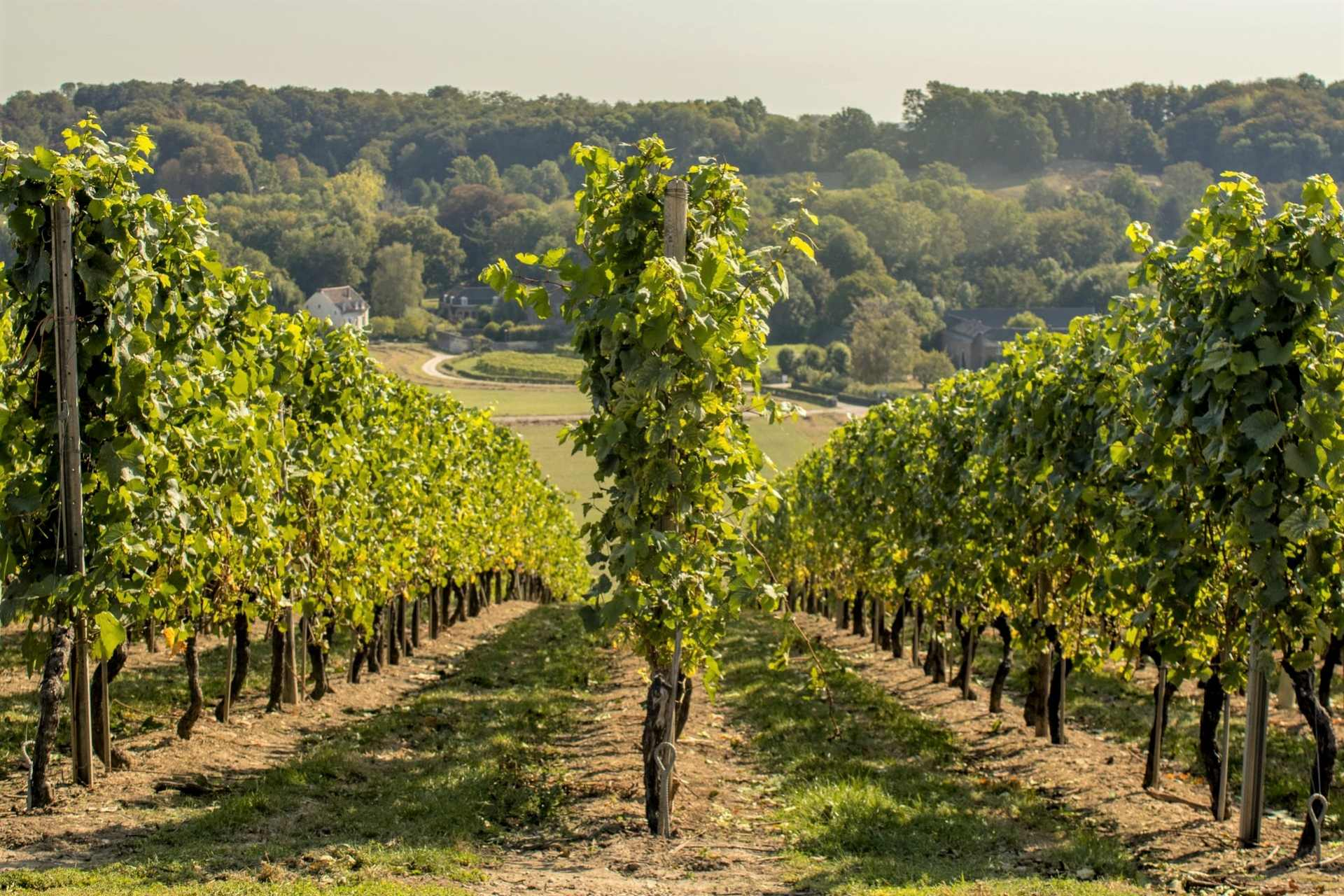 trees-going-down-hill-in-vineyard-winery-limburg-hills