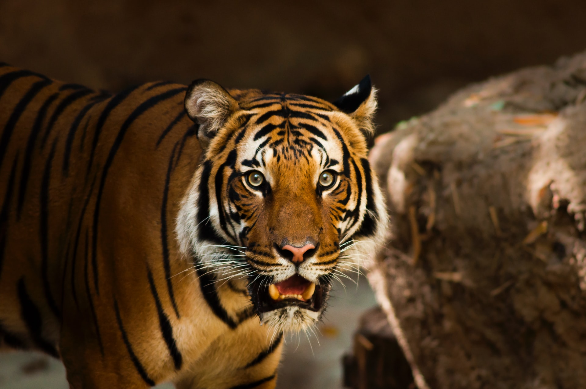 tiger-with-mouth-open-at-twycross-zoo