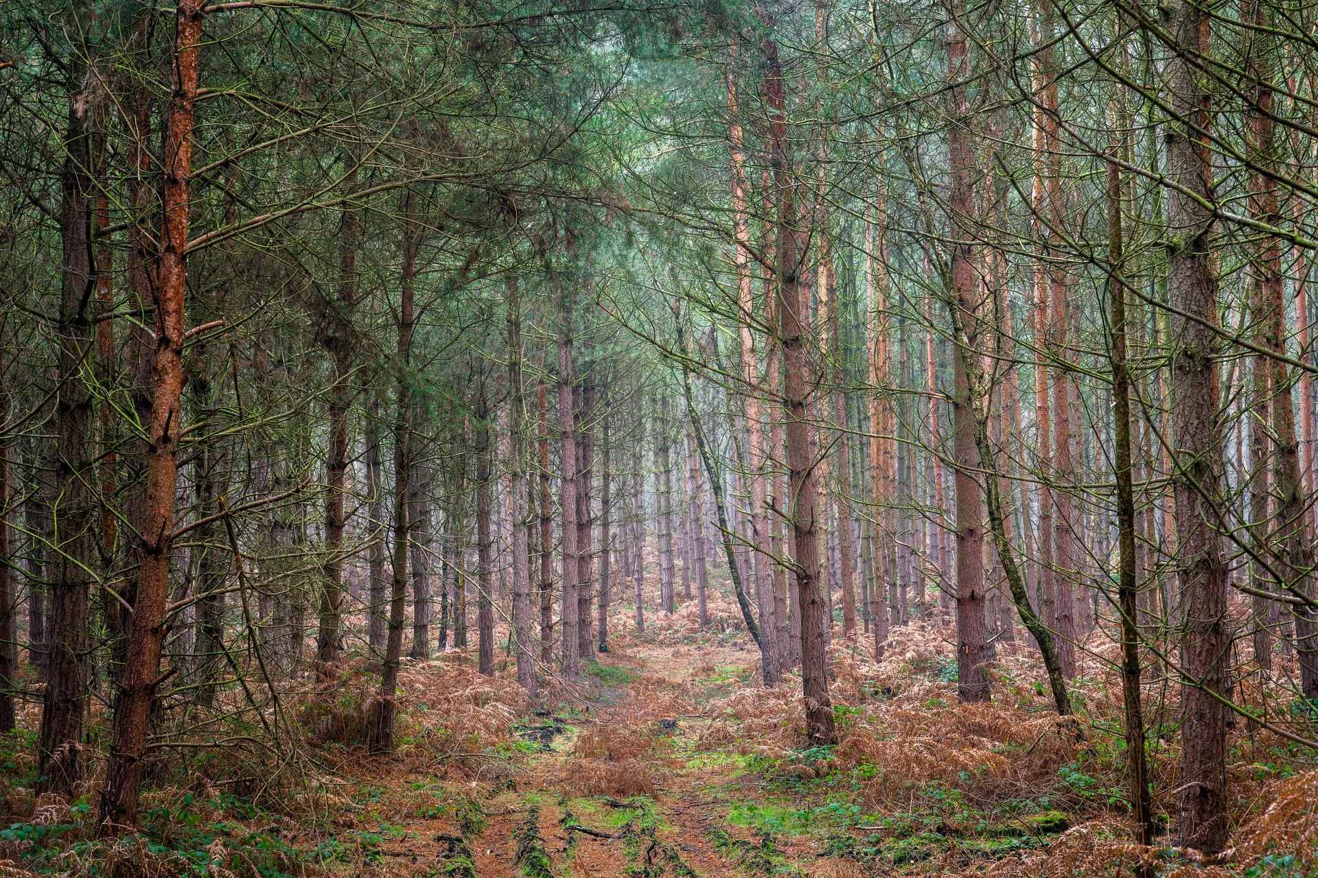 trail-leading-through-pine-trees-in-sherwood-forest